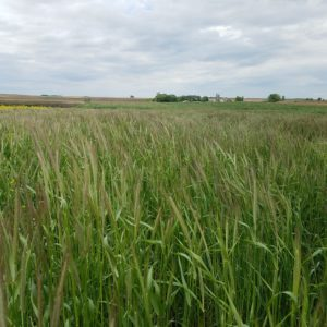 Schmidt wheat field